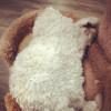 chat-mouton11